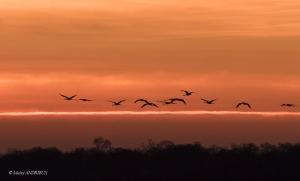 0-Vol de grue cendré Lac du Der