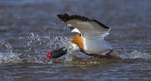 12-Conflit de canard
