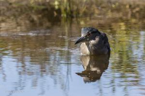 40-Heron bihoreau