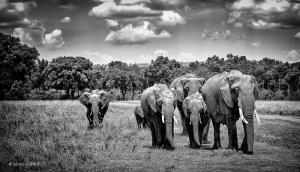 131-Elephants
