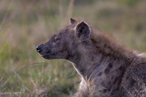 135-Hyène tacheté