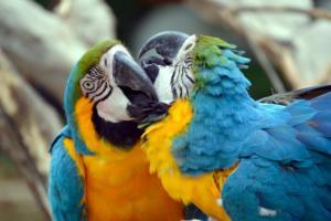 312 Aurore Hecquet un amour de perroquets