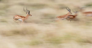 Michel ANDRIEUX -  Délires de courses de mâles impalas