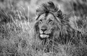 142-Panthera leo