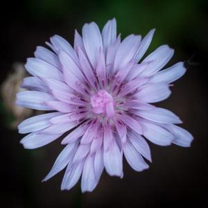 547 Florent  Poulain - Fleur