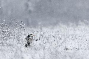 011 Michel Andrieux - Un jour dans son habit emmitouflé le heron au long bec