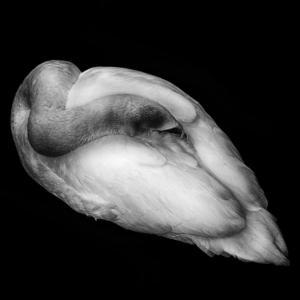 067 Marc Lec' Hvien - Black and swan