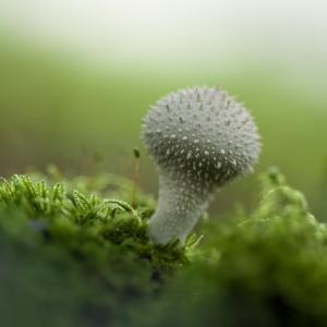 Florent POULAIN - Lycoperdon perlatum